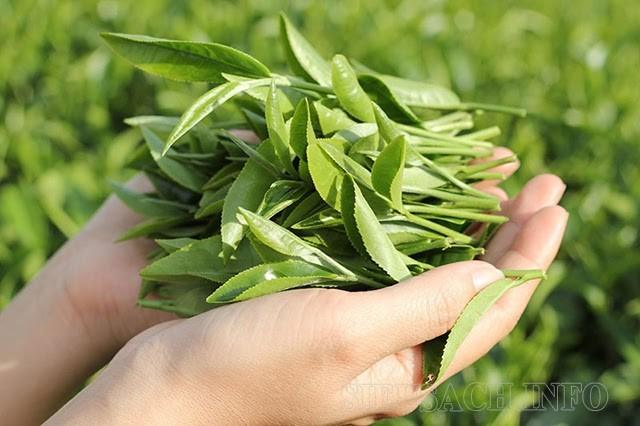 Khử mùi giày bằng trà xanh bởi trà xanh có tính kháng khuẩn rất cao